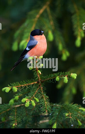 Beautiful and colorful male bullfinch, photographed on a pine tree in Northern Europe - Stock Photo