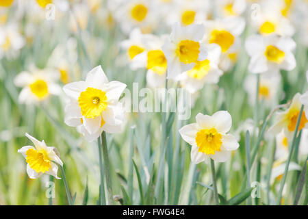 White and yellow daffodils in a garden - Stock Photo
