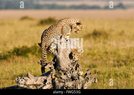 Two young brothers cheetahs play the African savanna - Stock Photo