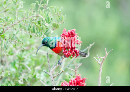 A male greater double-collared sunbird, Cinnyris afer, hiding behind a flower - Stock Photo
