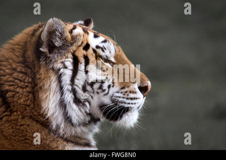 Female Amur (Siberian) tiger (profile) - Stock Photo