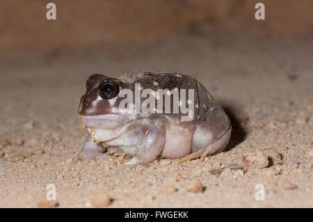 Western Spotted Frog (Heleioporus albopunctatus), Western Australia, Australia - Stock Photo