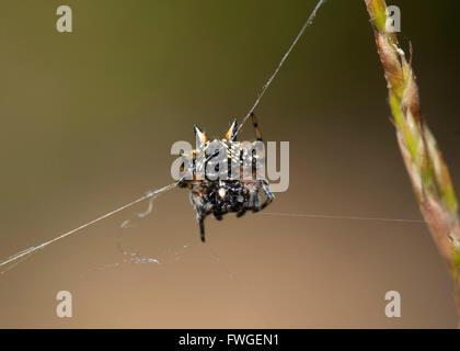 Underside of an Australian Jewel Spider (Austracantha minax), Western Australia, Australia - Stock Photo