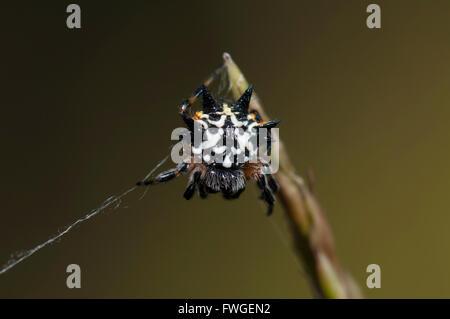 Australian Jewel Spider (Austracantha minax), Western Australia, Australia - Stock Photo