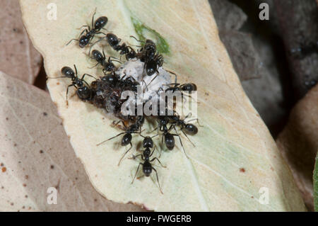 ... Black Garden Ants (Lasius Niger) With Food, South Australia   Stock  Photo