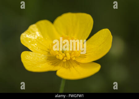 A close-up of a Meadow Buttercup flower (Ranunculus acris). - Stock Photo