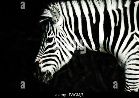Close-Up Of Zebra In Forest At Night - Stock Photo