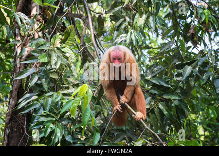 Red bald-headed Uakari monkey also known as British Monkey (Cacajao calvus rubicundus), Amazon state, Brazil, South - Stock Photo