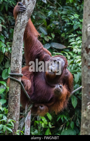 Young male Bornean orangutan (Pongo pygmaeus), Semenggoh Rehabilitation Center, Sarawak, Borneo, Malaysia, Southeast - Stock Photo
