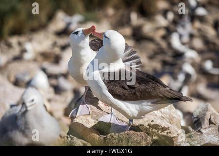Pair of courting black-browed albatross touching beaks - Stock Photo