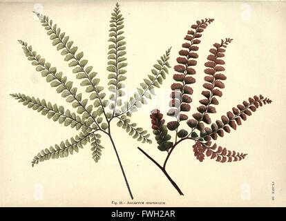 Album of Indian ferns (Plate 10) - Stock Photo