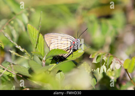 Asuncion, Paraguay. 11th June, 2016. Black-veined hairstreak (Atlides polybe) butterfly perches on leaf, on the - Stock Photo