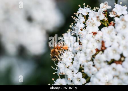 Bee on a viburnum flower - Stock Photo