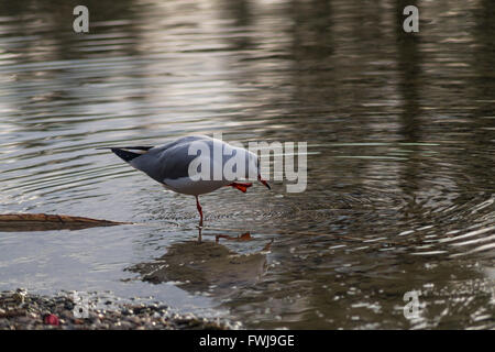 Seagull Standing On One Leg In Pond - Stock Photo