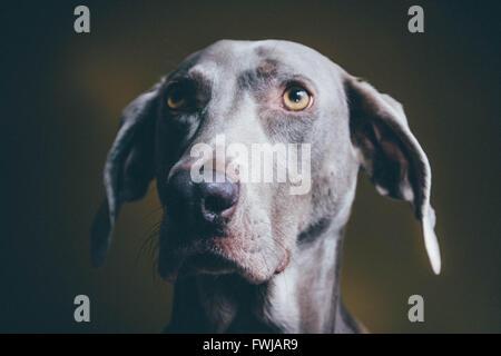 Close-Up Of Weimaraner Looking Away - Stock Photo