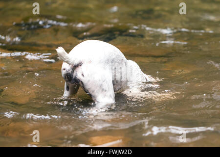 Jack Russell Terrier Making Scuba Diving In A River - Stock Photo