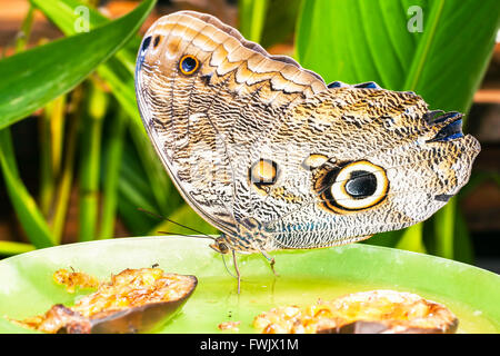 Giant Owl Butterfly, Amazon Rainforest, South America - Stock Photo