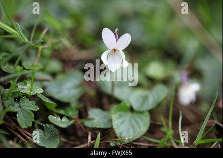 Viola Odorata growing wild at Lathkill Dale in the Peak District National Park - Stock Photo
