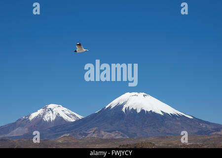 Andean Gull (Gaviota andina) flying in the clear blue sky of the altiplano in Lauca National Park, northern Chile. - Stock Photo