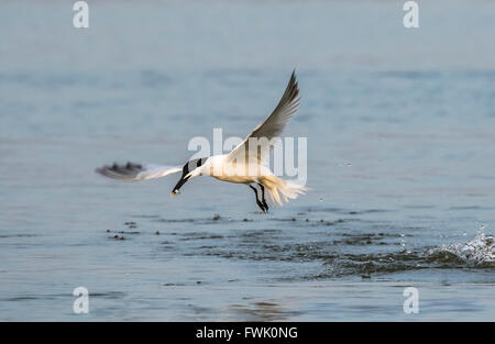 Sandwich tern (Thalasseus sandvicensis) hunting in the ocean, Galveston, Texas, USA. - Stock Photo