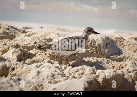 A ruddy turnstone bird (Arenaria interpres) with winter plumage on a sandy beach in the Caribbean. - Stock Photo