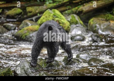 Black Bear on rocks, Ursus americanus, at Thornton Creek Hatchery, Vancouver Island, British Columbia, Canada. - Stock Photo