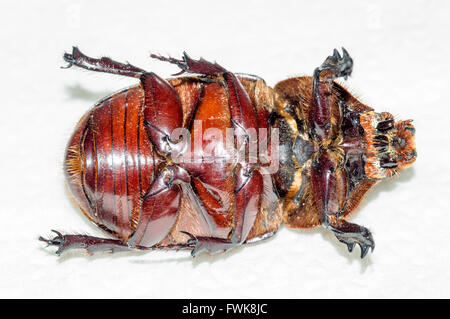 Close-Up Of A Dead Rhino Beetle Over White Background - Stock Photo