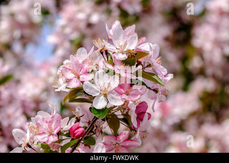 A honeybee, Apis melifera, works new spring blossoms of a crabapple, Profusion,Mallus x moerlandsil, in Oklahoma, - Stock Photo