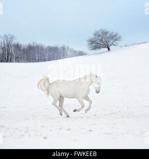 Appaloosa gelding running across snow covered pasture - Stock Photo