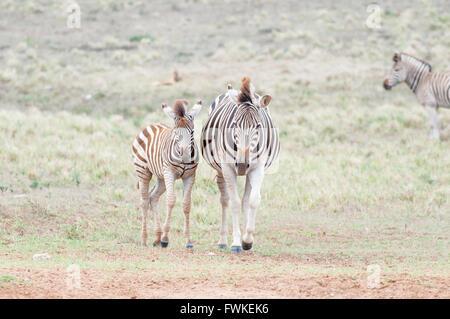 Pregnant Burchells zebra mare and her foal - Stock Photo