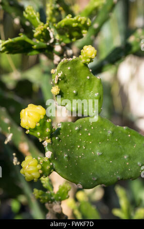 Close up of Saguaro Opuntia cactus (consolea falcata - cactaceae) with yellow flower buds - Stock Photo