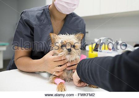 Veterinarians examining small dog in clinic examination room - Stock Photo