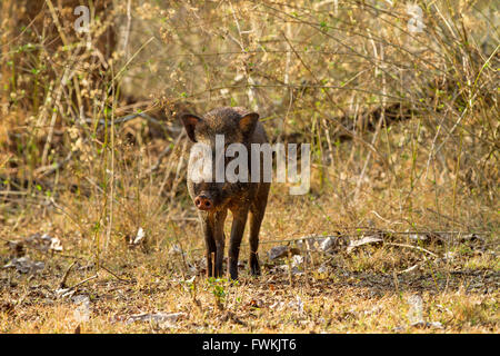 Indian wild boar in the forest - Stock Photo