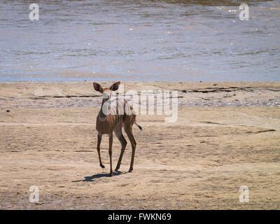 Bushbuck (Tragelaphus sylvaticus) by river shore in Tarangire National Park, Tanzania, Africa - Stock Photo