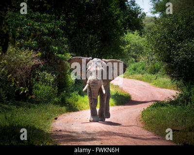 Large bull elephant (Loxodonta africana) walking on road in Lake Manyara National Park, Tanzania, Africa - Stock Photo