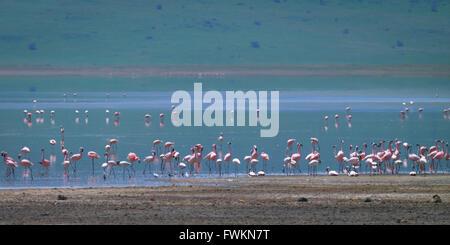 Pink Lesser Flamingo (Phoenicopterus minor) flock in shallow saline lake in Ngorongoro Crater, Tanzania, Africa - Stock Photo