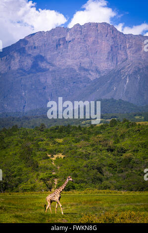 Giraffe (Giraffa camelopardalis) walking on plain in front of Mt Meru in Arusha National Park, Tanzania, Africa - Stock Photo