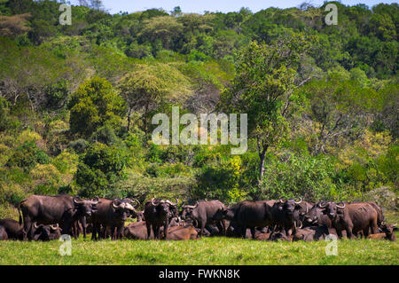 Large herd of African Buffalo (Syncerus caffer) in Arusha National Park, Tanzania, Africa - Stock Photo