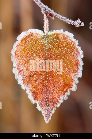 Heart shaped autumn leaf frozen in a cold autumn morning. HDR image. - Stock Photo