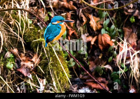 Common Kingfisher Perching On Twig - Stock Photo