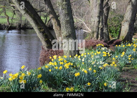 Daffodils line the path along the River Derwent at Froggatt in the Peak District, Derbyshire England UK - Stock Photo