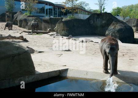Köln, Riehl, ne Besuch em Zoo, Elefantengehege - Stock Photo