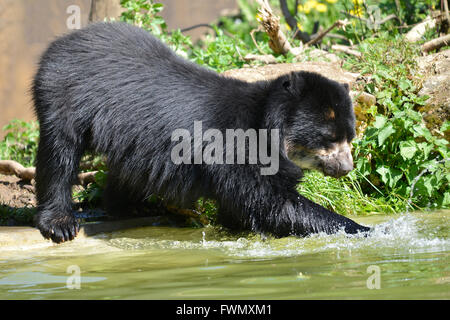 Andean bear (Tremarctos ornatus) in water, also known as the spectacled bear - Stock Photo