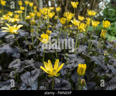 Clump of Bright Yellow Flowers Lesser Celandine Brazen Hussy in an Alsager Cheshire Garden England United Kingdom - Stock Photo