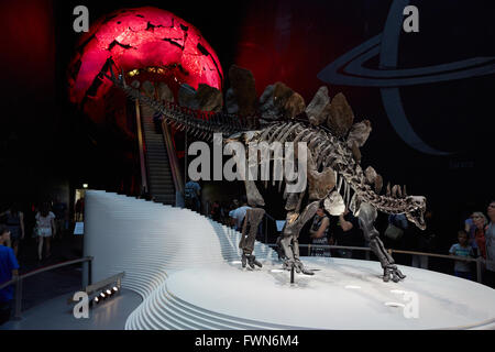 Stegosaurus, dinosaur skeleton in Natural History Museum in London - Stock Photo