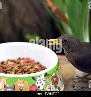 Blackbird feeding from cats dish, Blackbird, Turdus merula, feeding, feeds, cat, dish, bowl,, common, garden, bird, - Stock Photo
