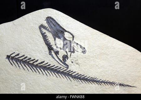 exploration Opetiosaurus Bucchichi Fossil embedded in stone Rock isolated on black background - Stock Photo