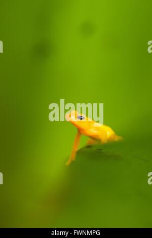 Golden Rocket Frog ( Anomaloglossus beebei), Endemic to giant tank bromeliad plants. Kaieteur Falls, Kaieteur National - Stock Photo