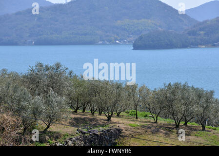 Kagawa, Japan. 20th Mar, 2016. Olive trees are planted at the Olive park in Shodoshima island in Kagawa prefecture - Stock Photo