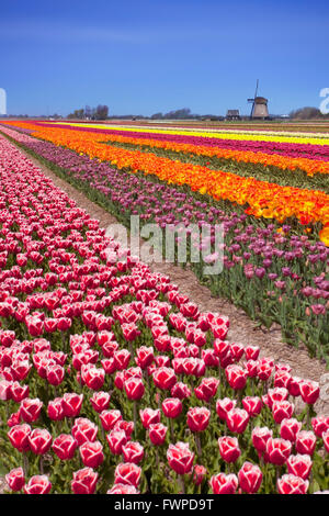 Colourful tulips on a sunny day in The Netherlands with a traditional windmill in the background. - Stock Photo